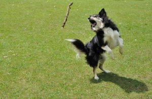 Jasper the border collie leaping in the air catching a stick